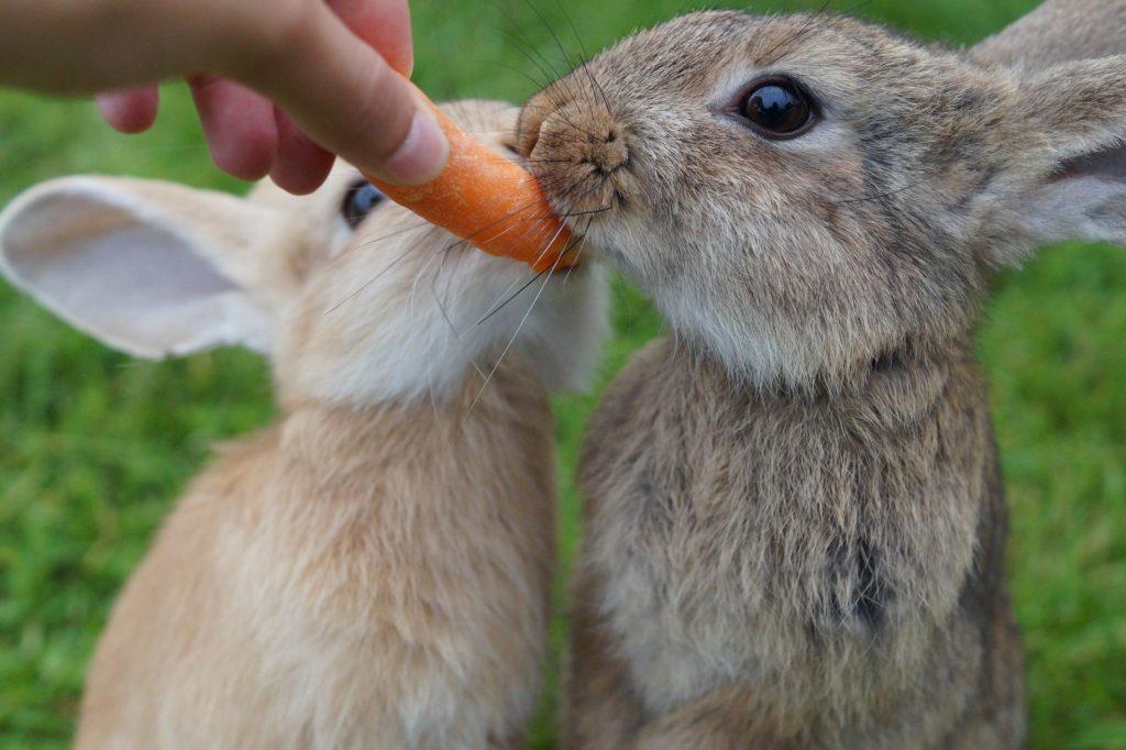 Kaninchen fressen Karotte